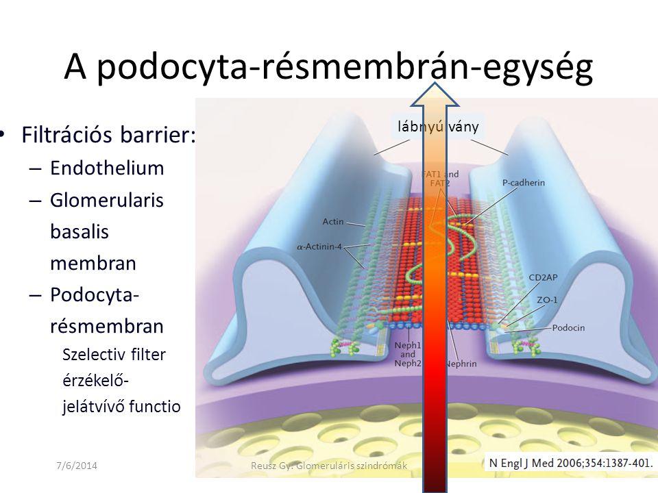 A podocyta-résmembrán-egység