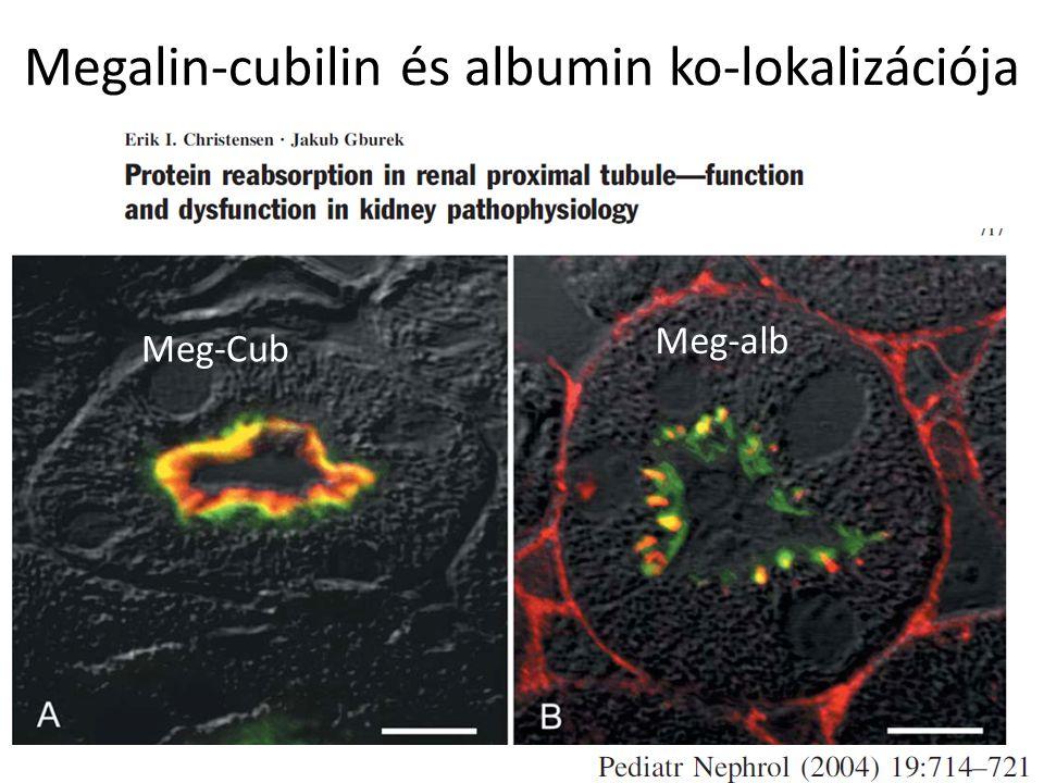 Megalin-cubilin és albumin ko-lokalizációja