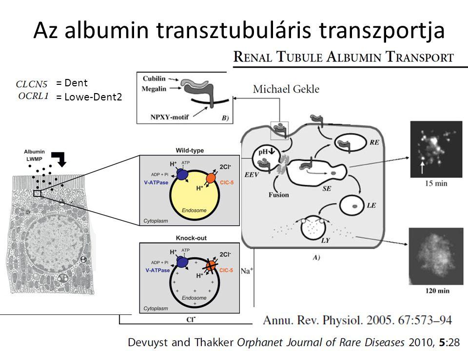 Az albumin transztubuláris transzportja