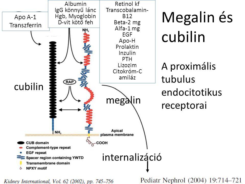 Megalin és cubilin A proximális tubulus endocitotikus receptorai