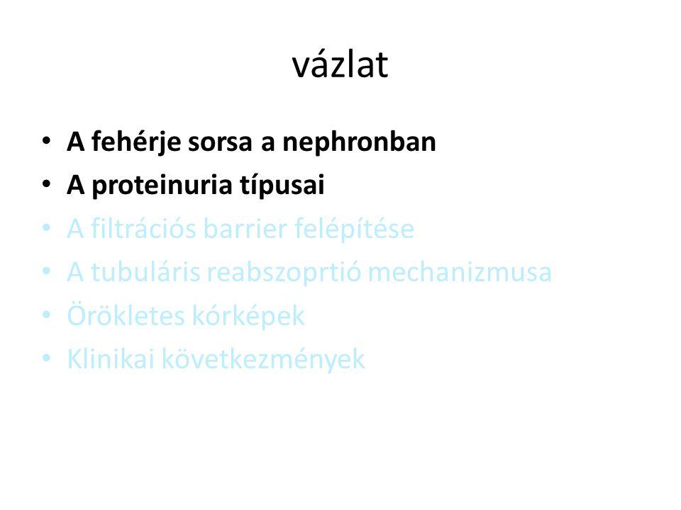 vázlat A fehérje sorsa a nephronban A proteinuria típusai