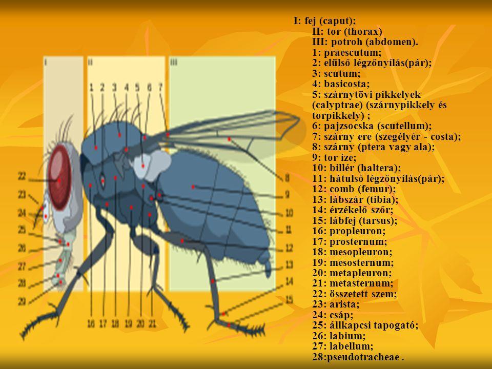 I: fej (caput); II: tor (thorax) III: potroh (abdomen)