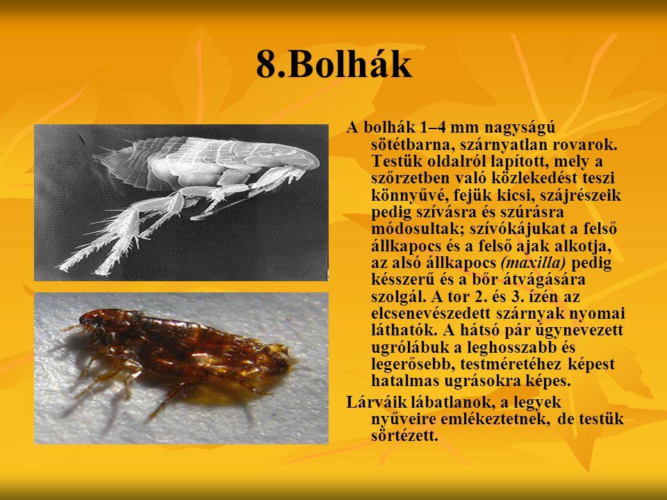 8.Bolhák