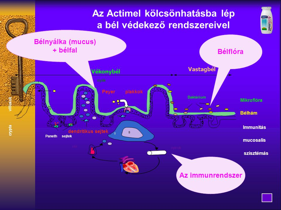 Az Actimel kölcsönhatásba lép a bél védekező rendszereivel