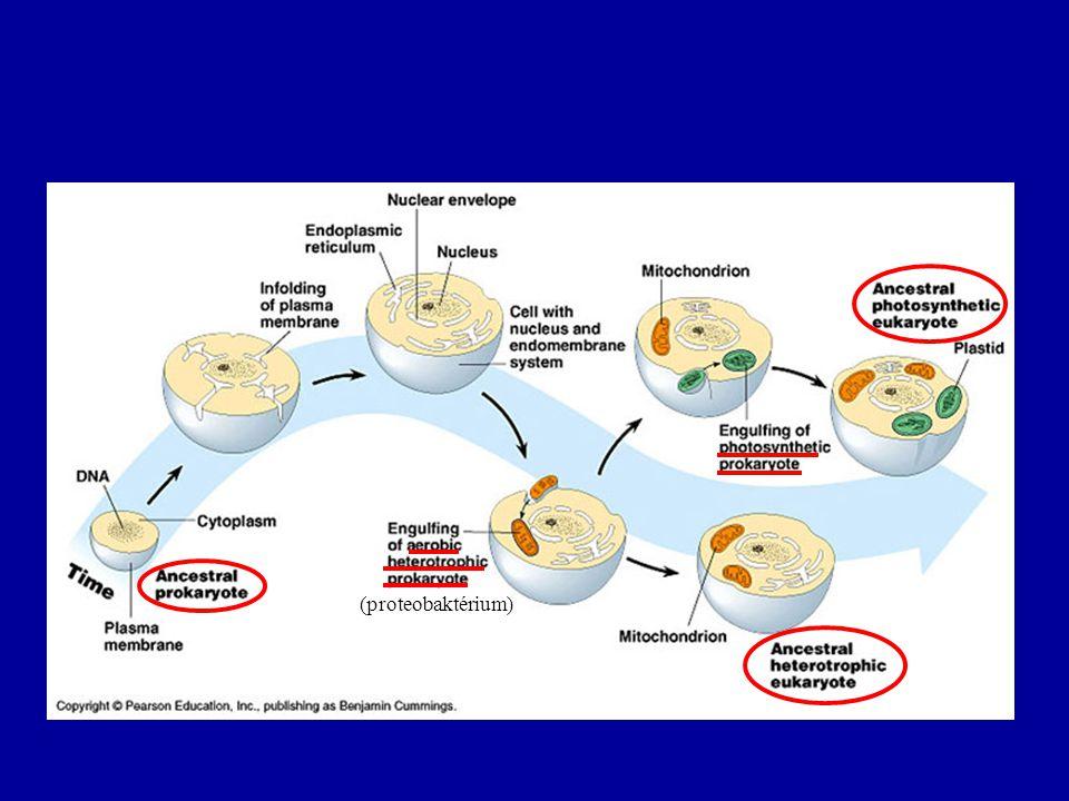 (proteobaktérium)