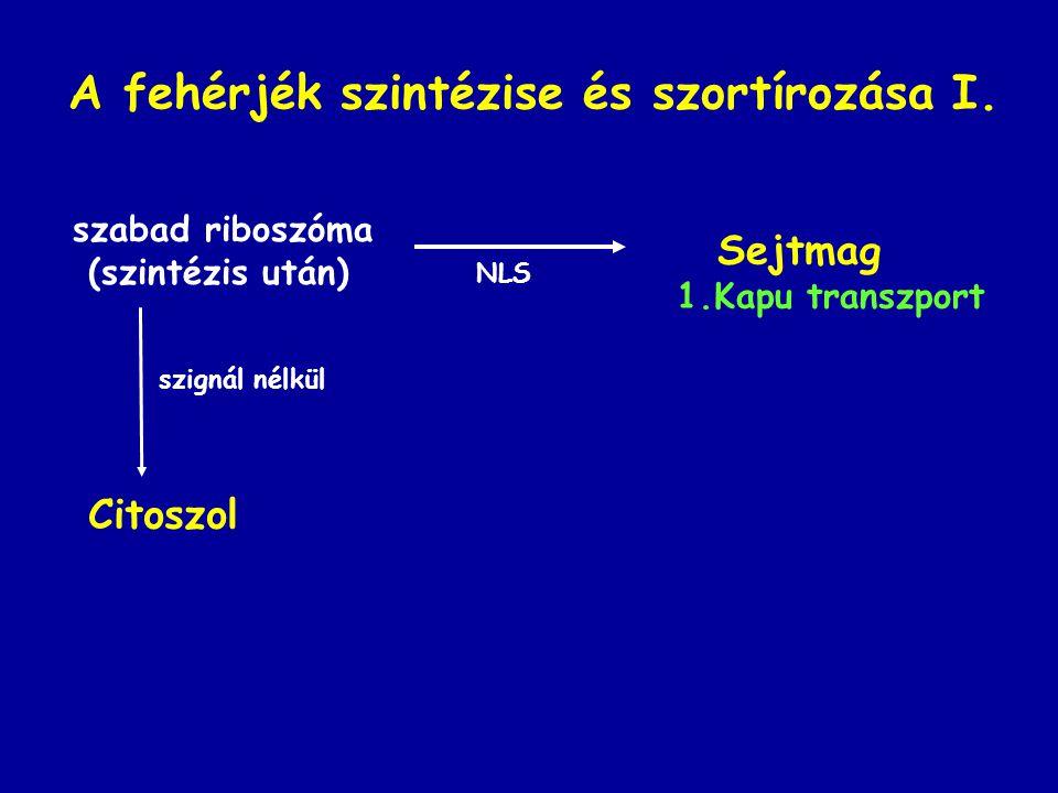 A fehérjék szintézise és szortírozása I.