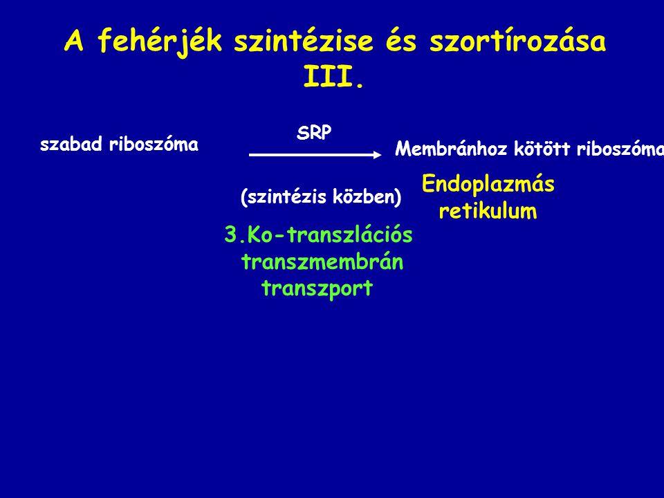 A fehérjék szintézise és szortírozása III.