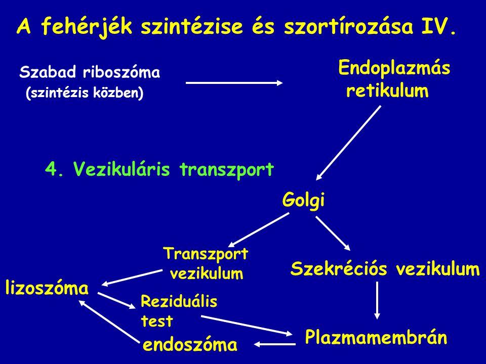 A fehérjék szintézise és szortírozása IV.