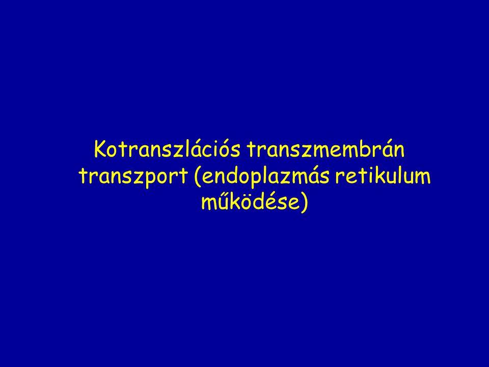 Kotranszlációs transzmembrán transzport (endoplazmás retikulum működése)