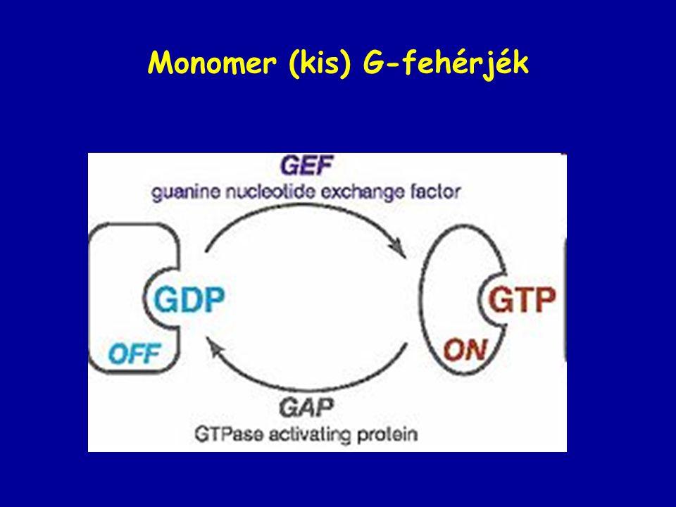 Monomer (kis) G-fehérjék