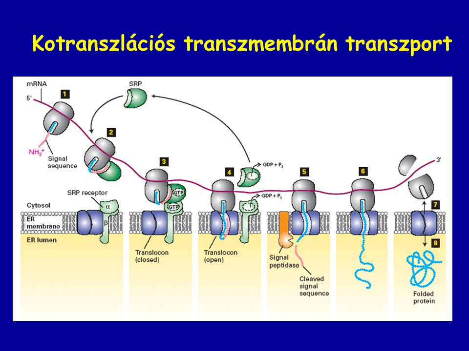 Kotranszlációs transzmembrán transzport