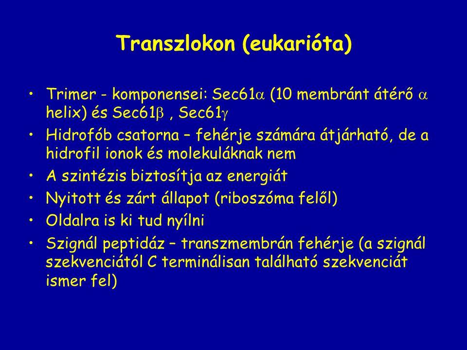 Transzlokon (eukarióta)