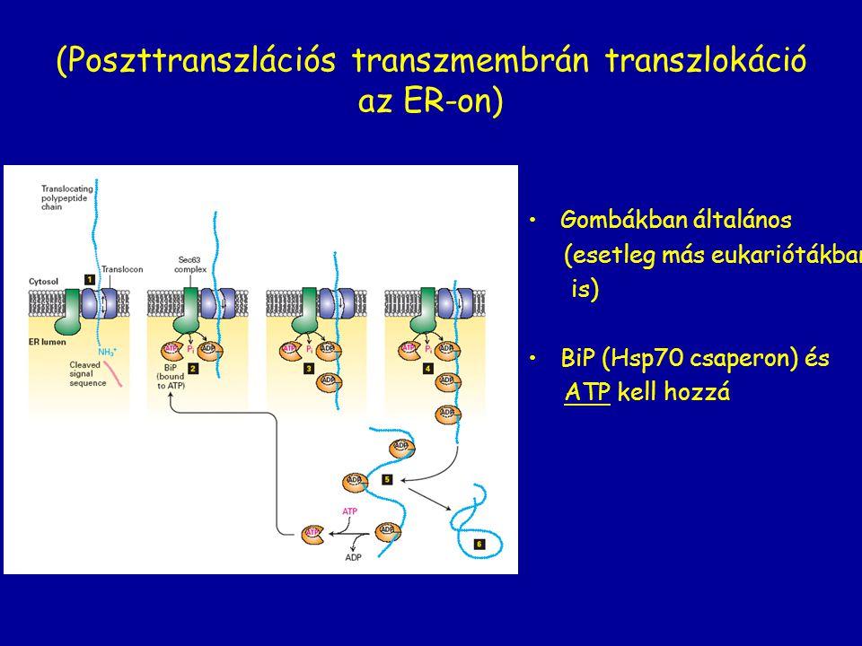 (Poszttranszlációs transzmembrán transzlokáció az ER-on)