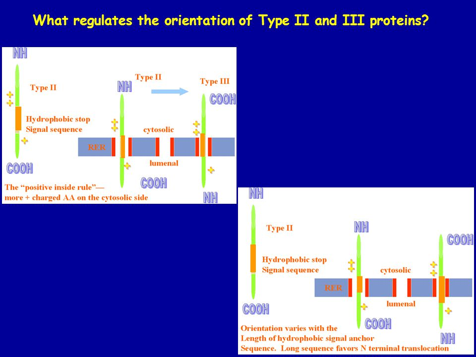 What regulates the orientation of Type II and III proteins