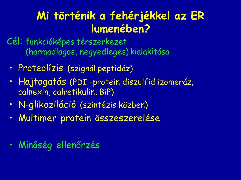 Mi történik a fehérjékkel az ER lumenében