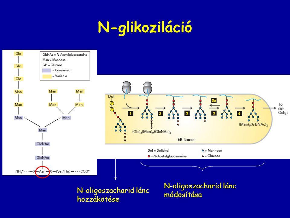 N-glikoziláció N-oligoszacharid lánc N-oligoszacharid lánc módosítása
