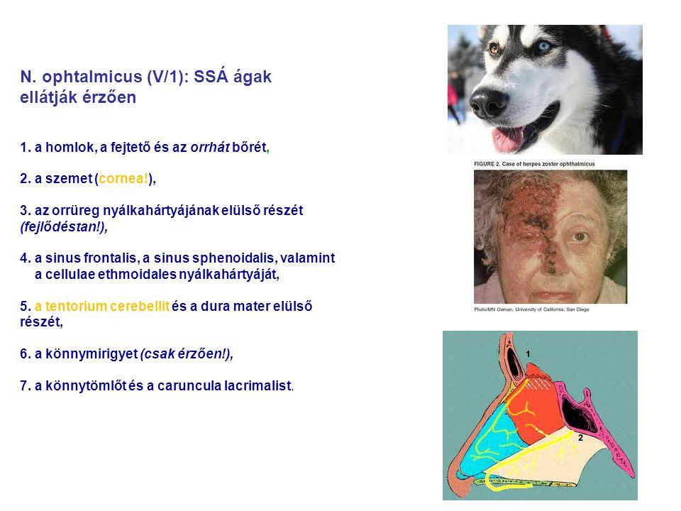 N. ophtalmicus (V/1): SSÁ ágak ellátják érzően