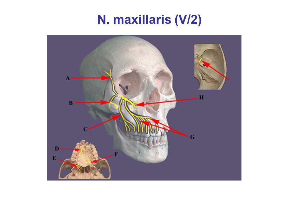 N. maxillaris (V/2)