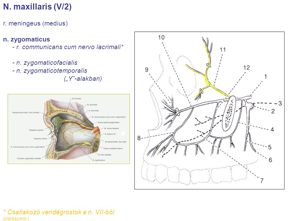 N. maxillaris (V/2) r. meningeus (medius) n. zygomaticus