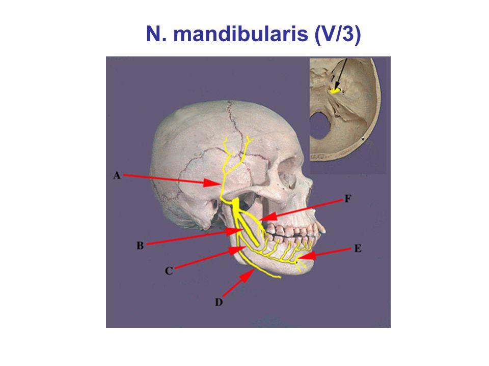 N. mandibularis (V/3)