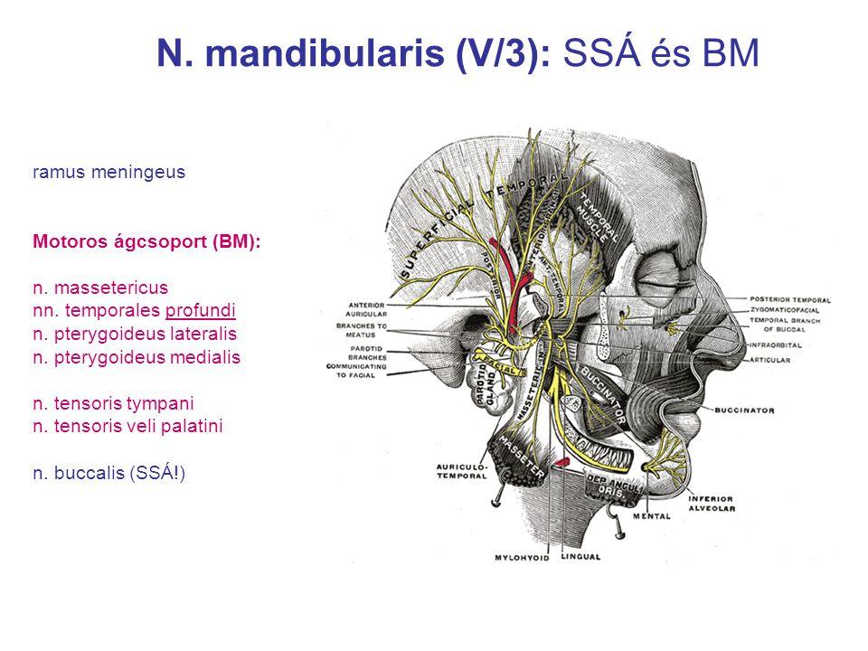 N. mandibularis (V/3): SSÁ és BM