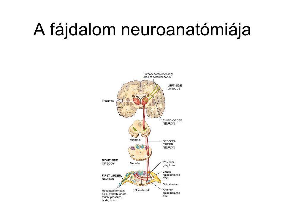 A fájdalom neuroanatómiája
