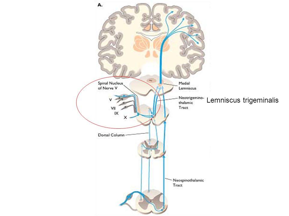 Lemniscus trigeminalis