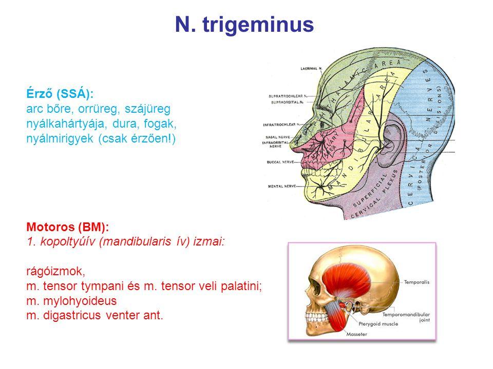 N. trigeminus Érző (SSÁ): arc bőre, orrüreg, szájüreg