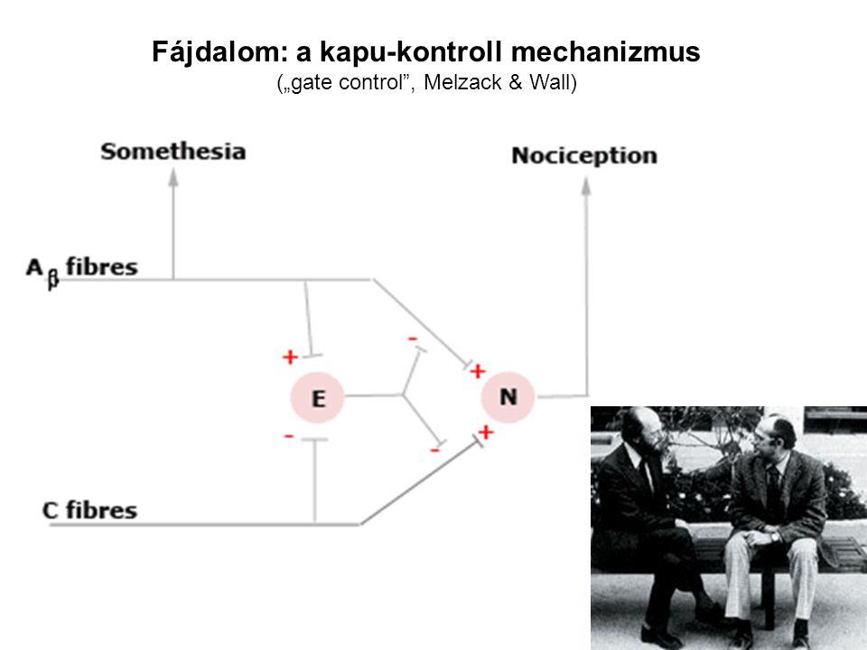 """Fájdalom: a kapu-kontroll mechanizmus (""""gate control , Melzack & Wall)"""