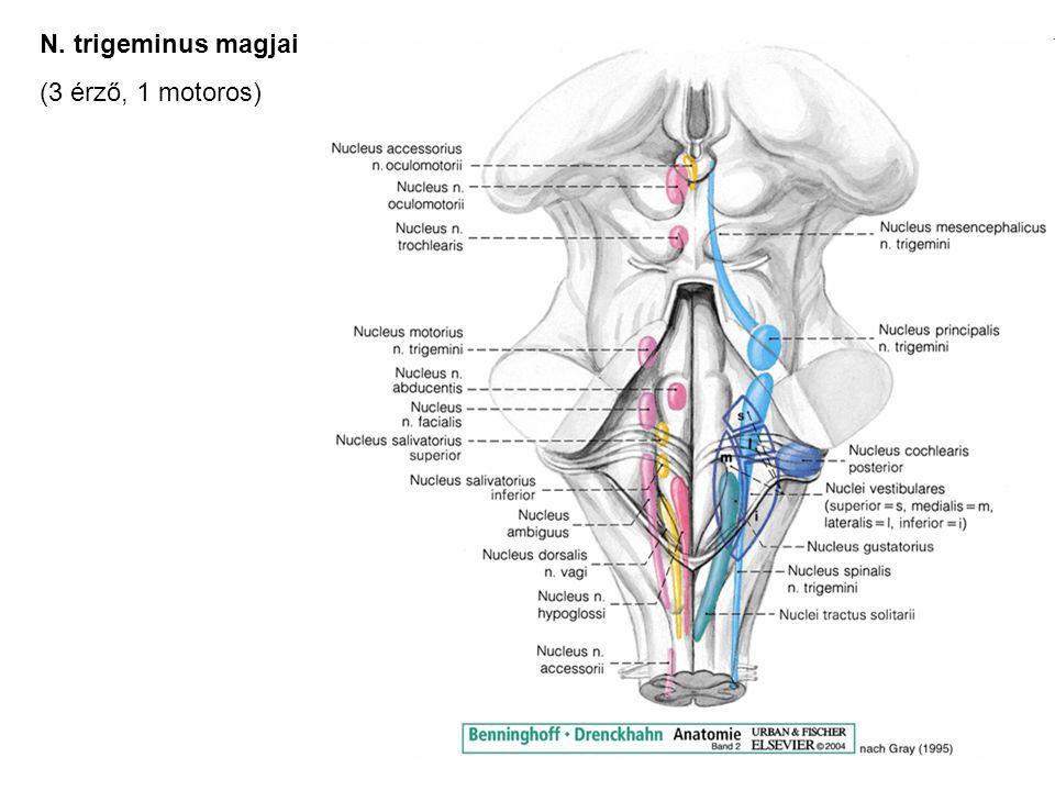 N. trigeminus magjai (3 érző, 1 motoros)