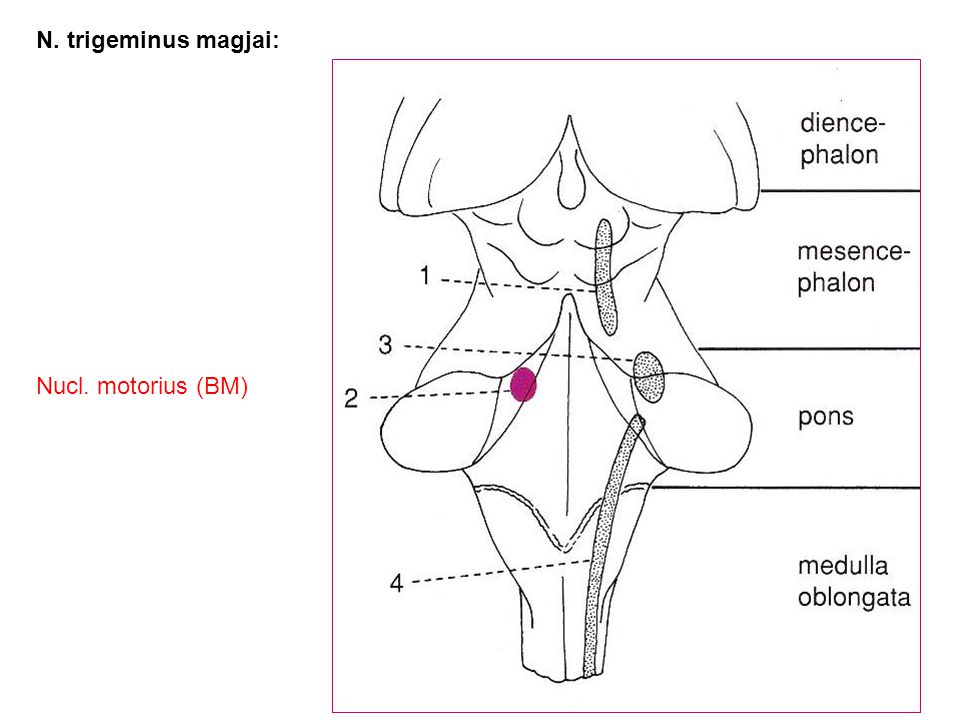 N. trigeminus magjai: Nucl. motorius (BM)