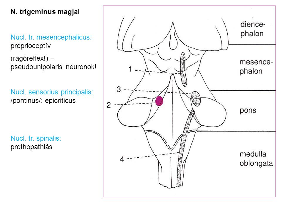 N. trigeminus magjai Nucl. tr. mesencephalicus: proprioceptív. (rágóreflex!) – pseudounipolaris neuronok!