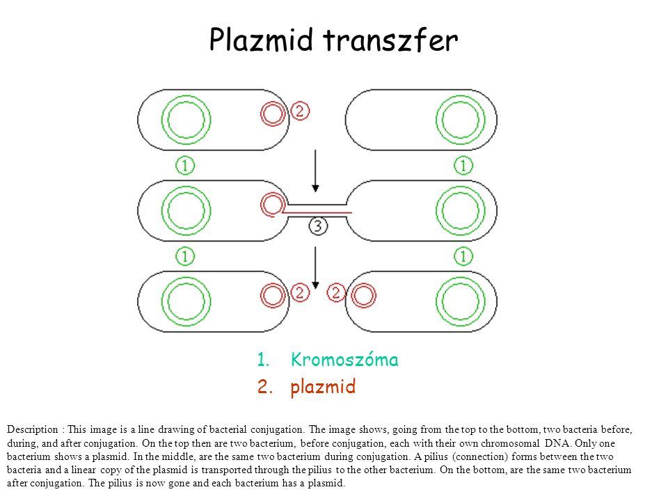 Plazmid transzfer Kromoszóma plazmid