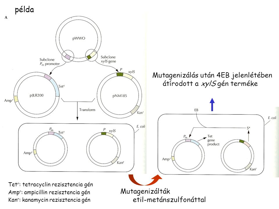 példa Mutagenizálás után 4EB jelenlétében átírodott a xylS gén terméke