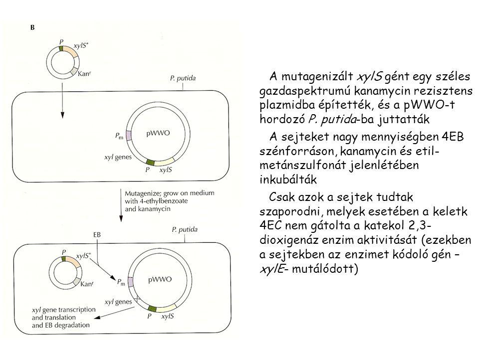 A mutagenizált xylS gént egy széles gazdaspektrumú kanamycin rezisztens plazmidba építették, és a pWWO-t hordozó P. putida-ba juttatták