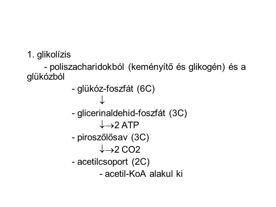 1. glikolízis - poliszacharidokból (keményítő és glikogén) és a glükózból. - glükóz-foszfát (6C) 