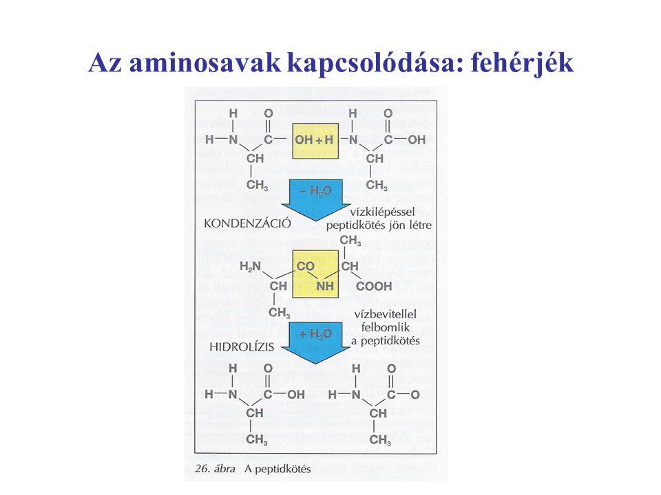 Az aminosavak kapcsolódása: fehérjék