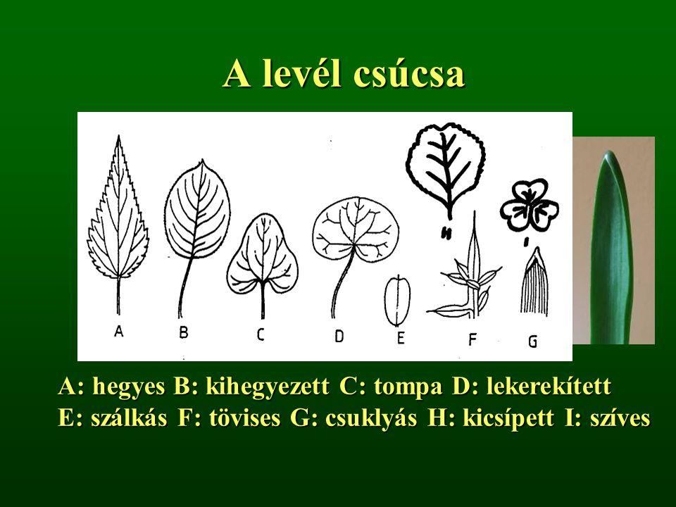 A levél csúcsa A: hegyes B: kihegyezett C: tompa D: lekerekített