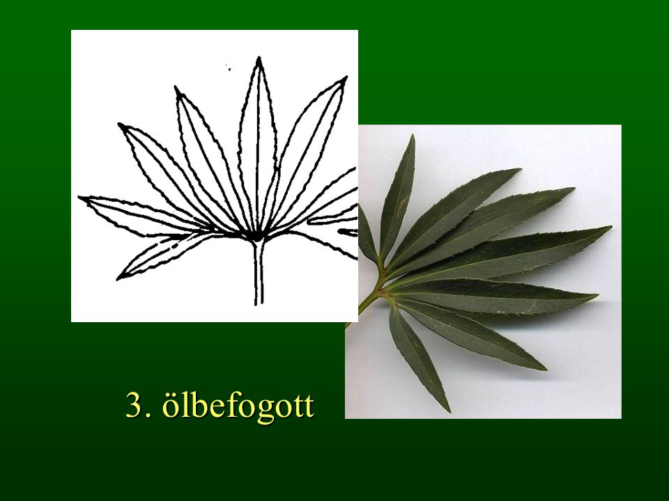 3. ölbefogott