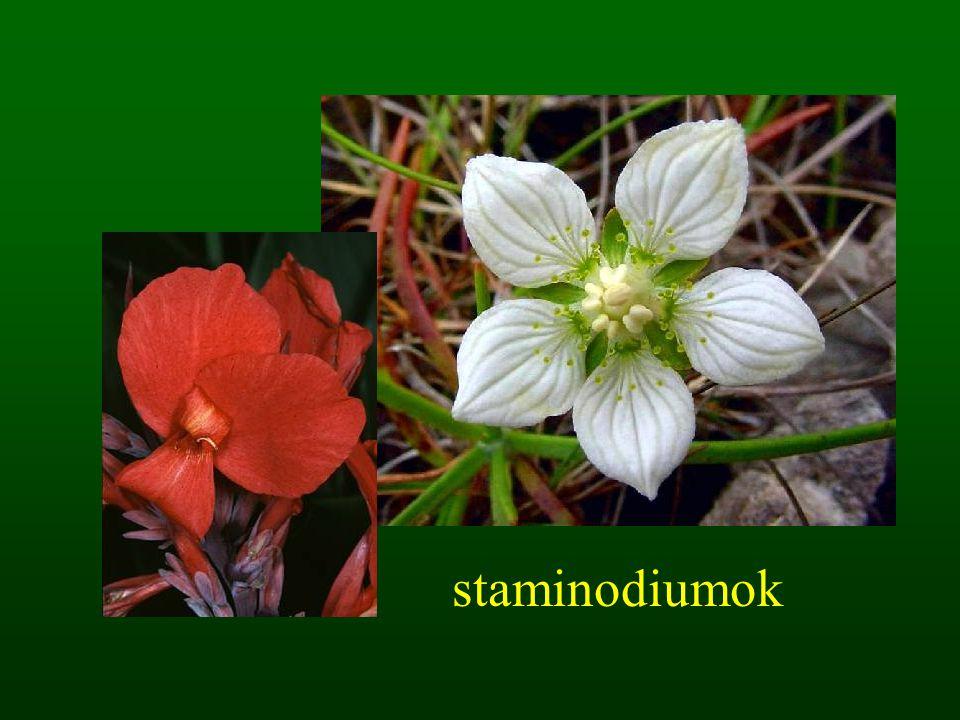 staminodiumok