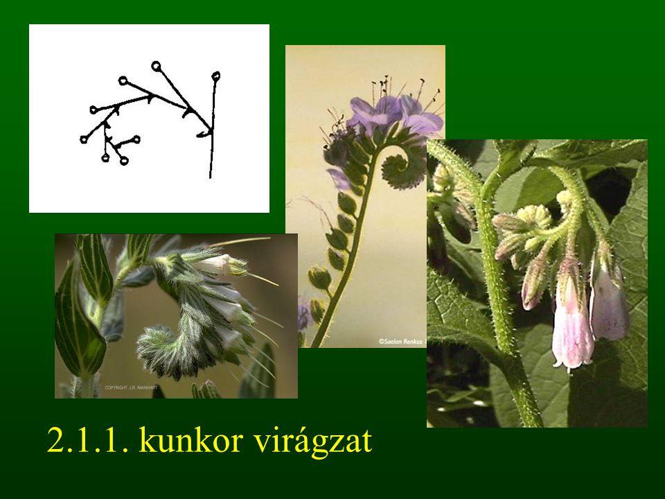 2.1.1. kunkor virágzat