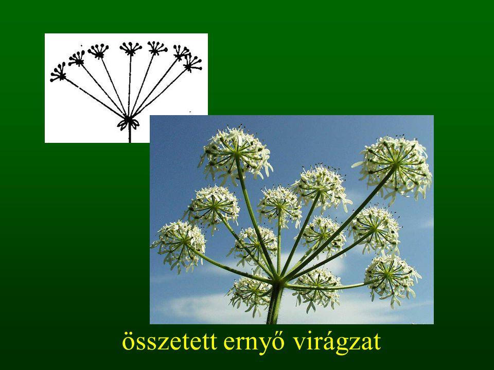 összetett ernyő virágzat