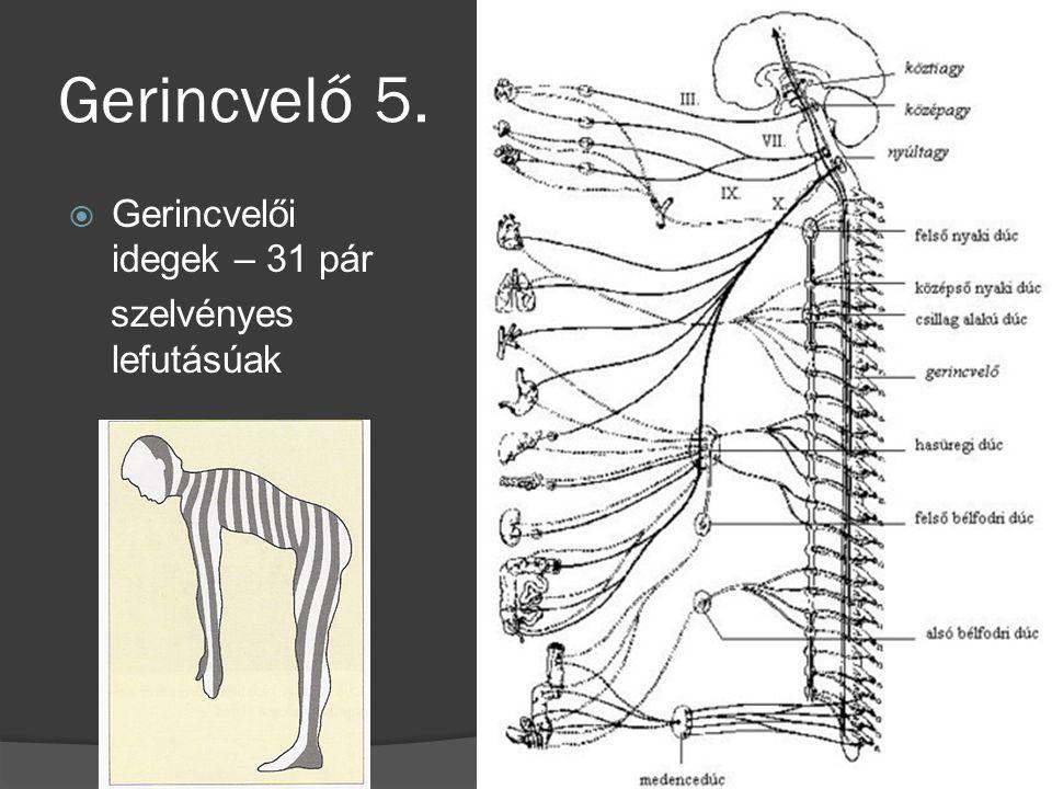 Gerincvelő 5. Gerincvelői idegek – 31 pár szelvényes lefutásúak