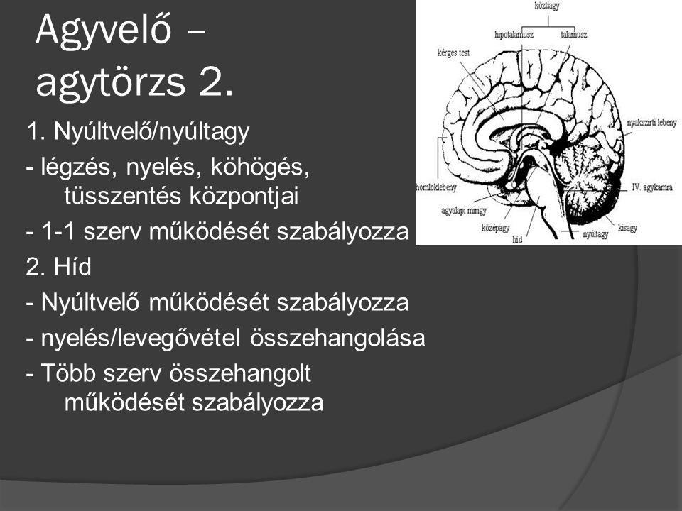 Agyvelő – agytörzs 2.