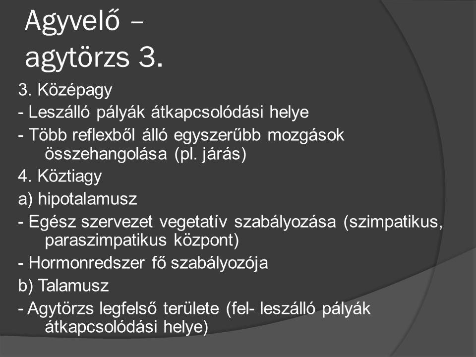Agyvelő – agytörzs 3.