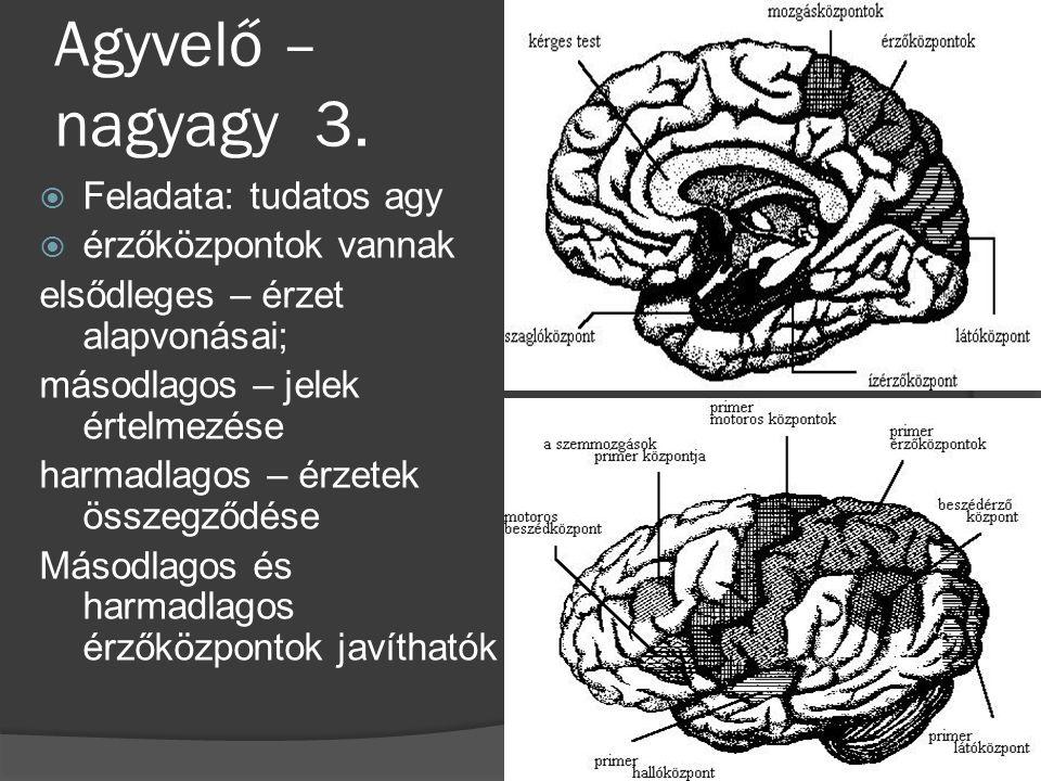 Agyvelő – nagyagy 3. Feladata: tudatos agy érzőközpontok vannak
