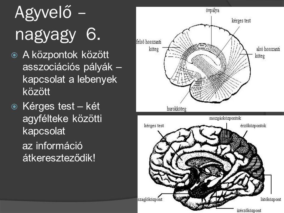 Agyvelő – nagyagy 6. A központok között asszociációs pályák – kapcsolat a lebenyek között. Kérges test – két agyfélteke közötti kapcsolat.