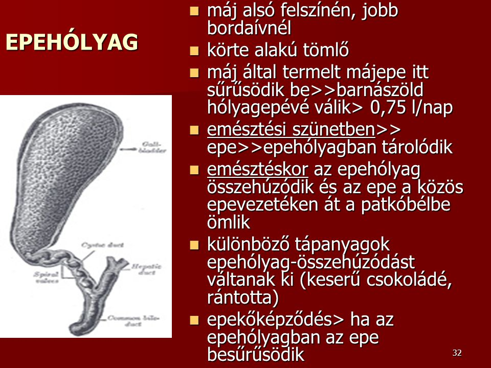 EPEHÓLYAG máj alsó felszínén, jobb bordaívnél körte alakú tömlő