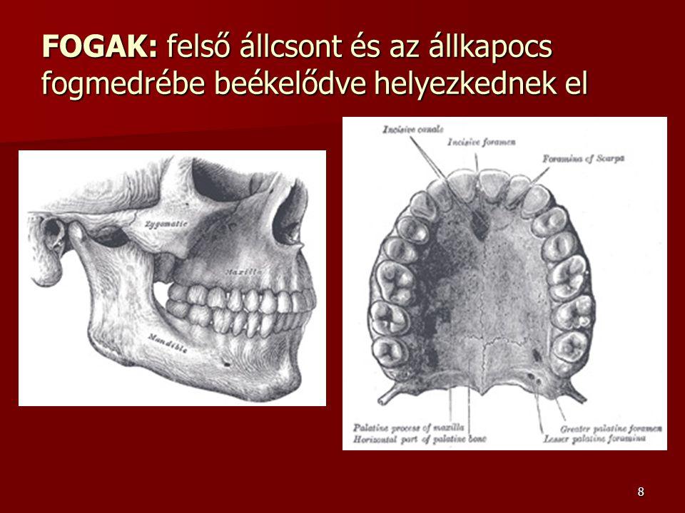 FOGAK: felső állcsont és az állkapocs fogmedrébe beékelődve helyezkednek el