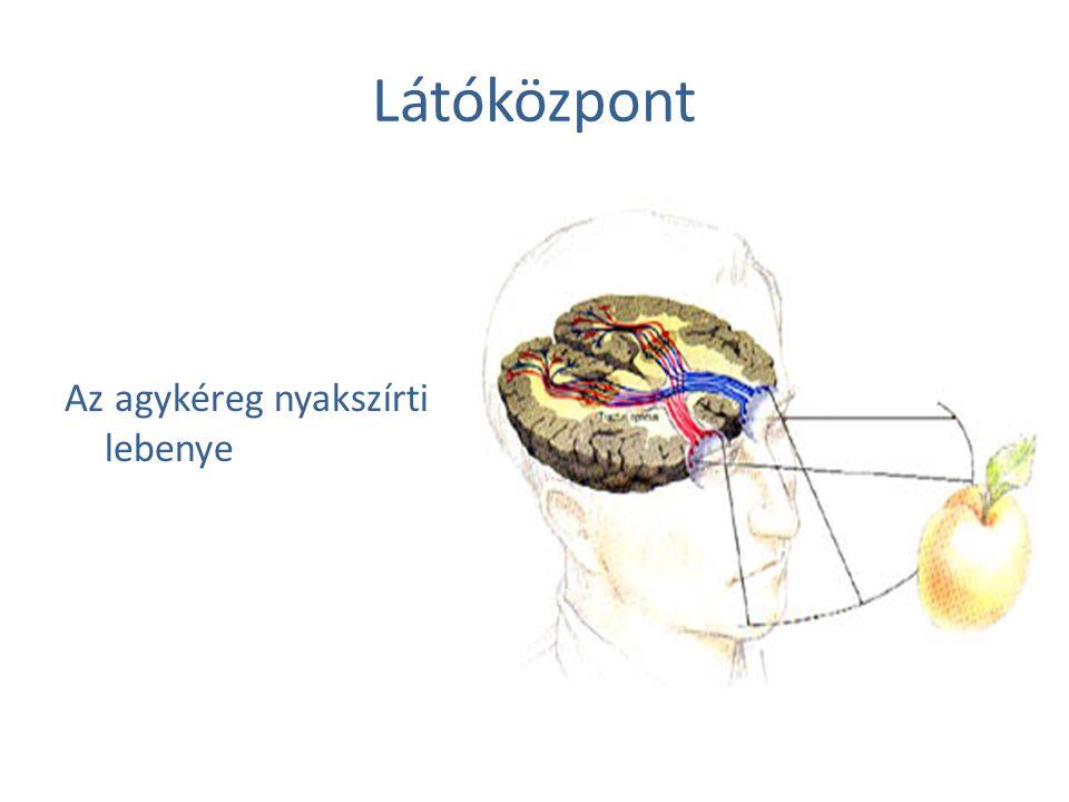 Látóközpont Az agykéreg nyakszírti lebenye